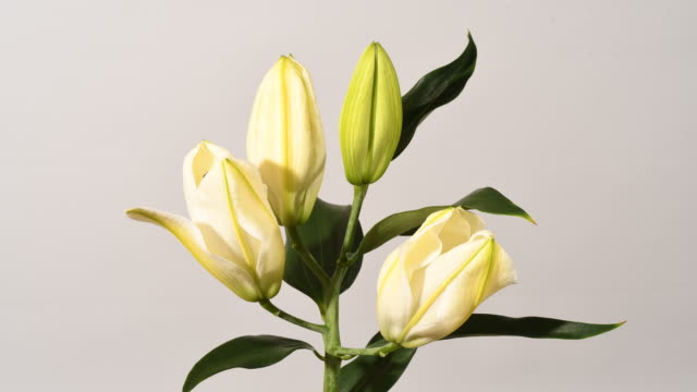 white lily flowers opening time lapse. white background - bouquet video stock e b–roll
