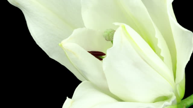 white lily time lapse - lily stock videos & royalty-free footage