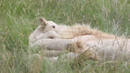 White lion cub tackles his dad round the neck.