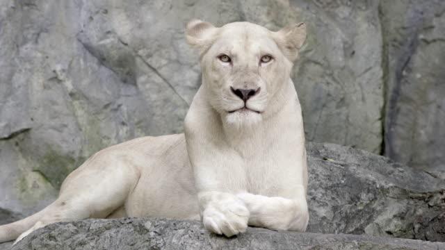 White lion portrait close up