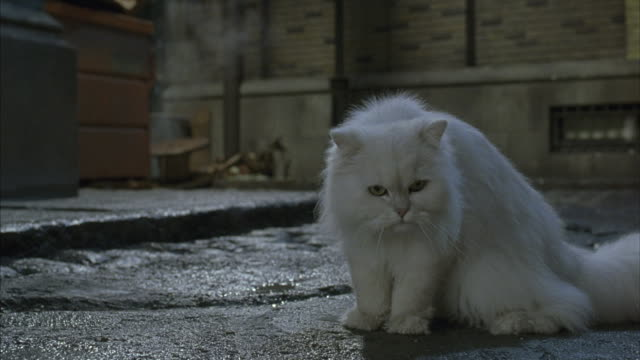 vidéos et rushes de a white long haired cat sitting in an alley as a trainer's hand periodically pushes the cat into position. - pushing