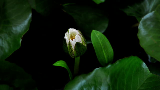 White Lotus blooming (Timelapse)
