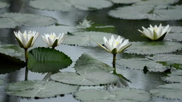 vídeos y material grabado en eventos de stock de flor de loto blanco que florece en el estanque - loto