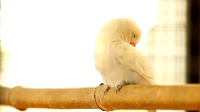 White lovebird.