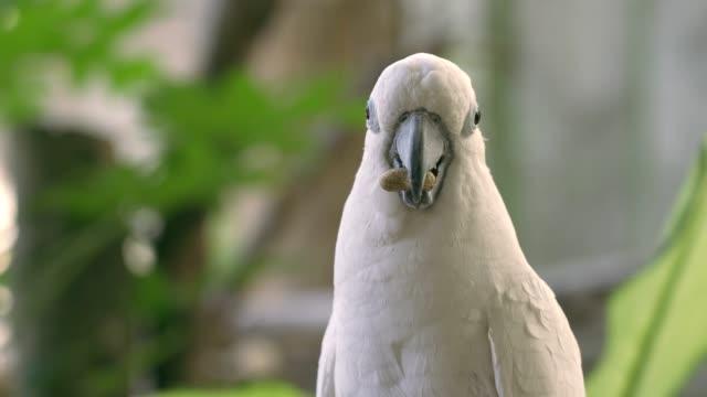 vídeos y material grabado en eventos de stock de pájaro guacamayo blanco comiendo hando vino en el fondo de la naturaleza - pico boca de animal