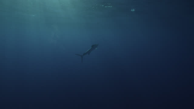 white marlin swims in ocean, azores - pelagic zone stock videos & royalty-free footage