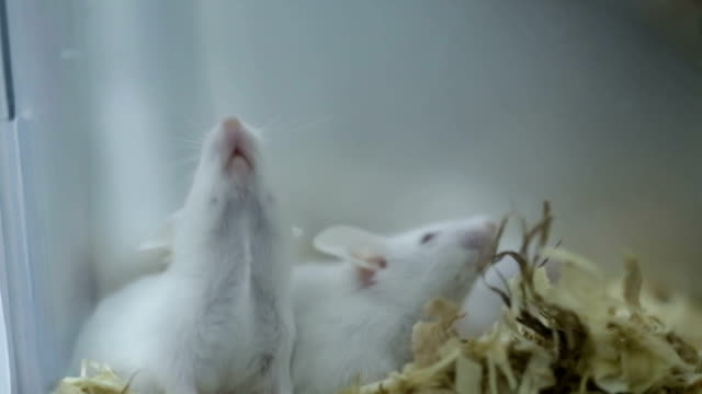 white mice grow in cage in lab - scientific experiment stock videos & royalty-free footage