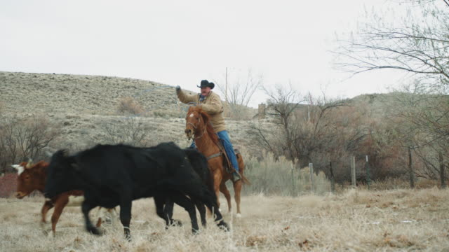 White Middle-Aged Cowboy Roping Cows