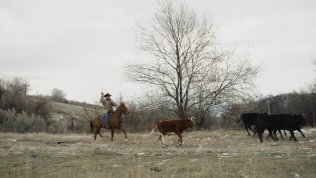 white middle-aged cowboy roping cows - rancher stock videos and b-roll footage