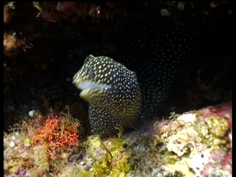white moray eel, in reef crevice, snaps mouth open and shut, defence? - zuschnappen stock-videos und b-roll-filmmaterial