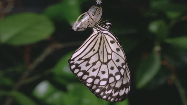 T/L, MS, White morph of monarch butterfly (Danaus plexippus) emerging from chrysalis