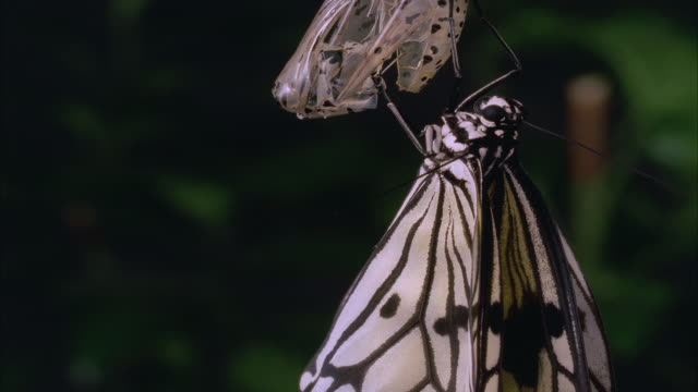 T/L, White morph of monarch butterfly (Danaus plexippus) emerging from chrysalis