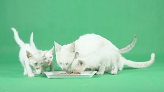 4K Weiße Mutter Katze mit ihrem Kätzchen auf einem grünen Bildschirm