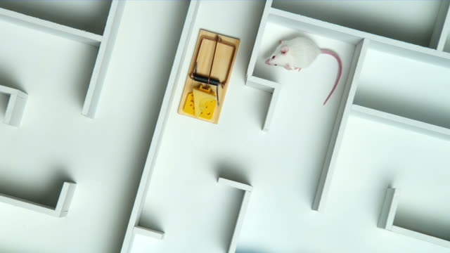 HA, MS, White mouse and mouse trap with peace of cheese in maze