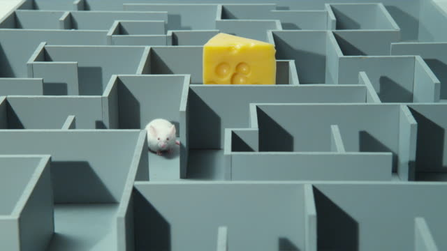 MS, White mouse searching for peace of cheese in maze