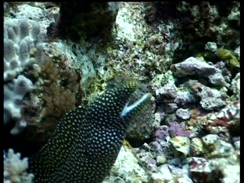 White Mouth Moray Eel, moving over Coral reef with mouth open, disappears into hole, Mabul, Borneo, Malaysia