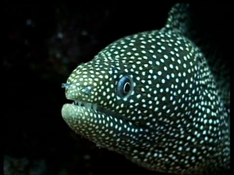 cu white mouth moray eel, sabah, borneo, malaysia - ugliness stock videos & royalty-free footage