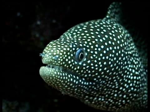 CU White Mouth Moray Eel, Sabah, Borneo, Malaysia