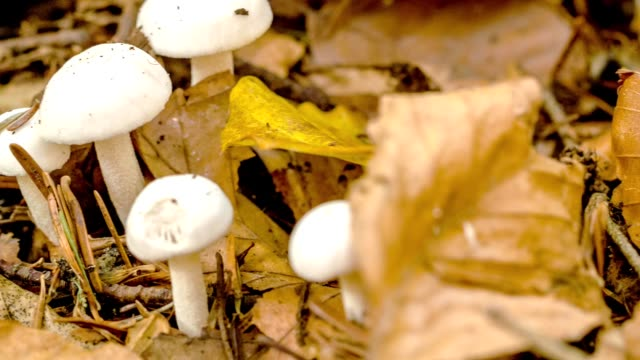 vídeos de stock, filmes e b-roll de cogumelos brancos que crescem de uma raiz da árvore. luz da floresta do outono que brilha em um par cogumelos brancos encontrados na grama da floresta com as folhas caídas vermelhas. movimento da câmera de captura linear. - estampa de folha