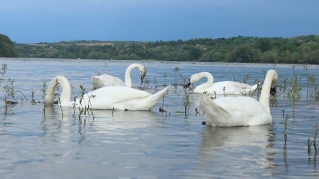 white mute swan swimming in danube river - mute swan stock videos & royalty-free footage