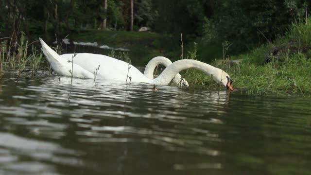 ドナウ川で泳ぐ白いミュートスワン - 翼を広げる点の映像素材/bロール