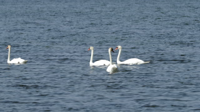 white mute swans swimming in rippled sea on sunny day - camargue, france - 四匹点の映像素材/bロール