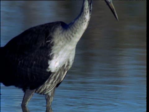 white necked heron wades in waterhole, northern territory, australia - seicht stock-videos und b-roll-filmmaterial
