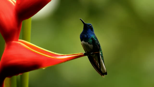 White necked Jacobin (Florisuga mellivora)perching next to feeder in the tropical forest of costa rica