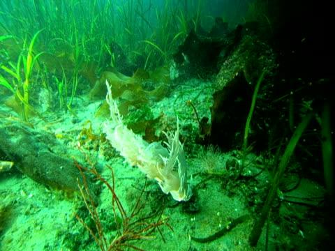 a white nudibranch settles on the ocean floor. - blötdjur bildbanksvideor och videomaterial från bakom kulisserna