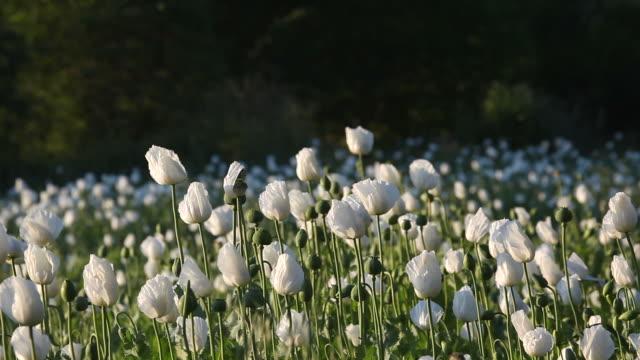 White Opium Poppy Field In Wind
