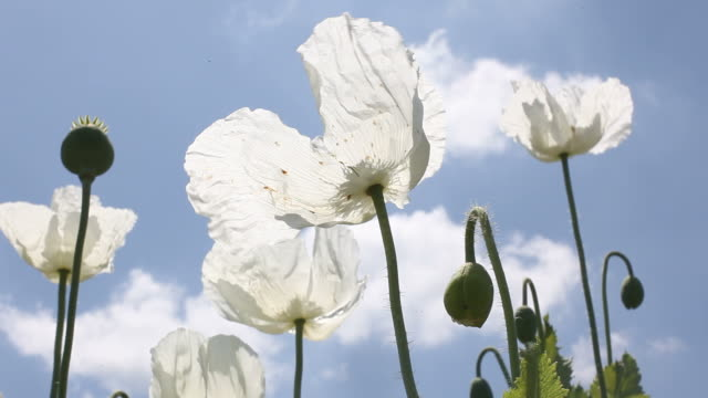 White Opium Poppy Heads On Blue Sky