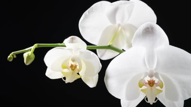 white orchid blooming timelapse - flower head stock videos & royalty-free footage