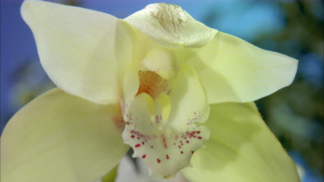 White orchid blossoming Available in HD.