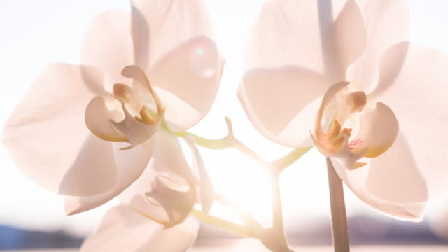 white orchid blossoms illuminated by sunlight - scented stock videos & royalty-free footage