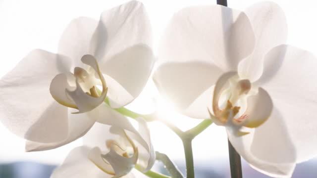 vídeos de stock, filmes e b-roll de flores de orquídea branca - white