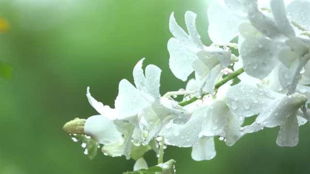 white orchid in rain - orchid stock videos & royalty-free footage