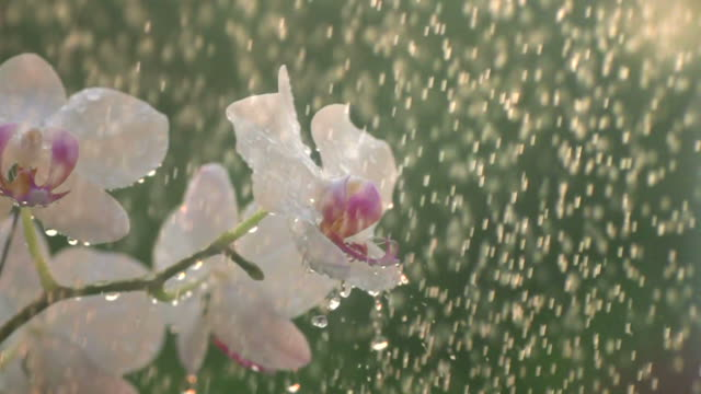 stockvideo's en b-roll-footage met wit orchidee in douche slow motion - orchidee