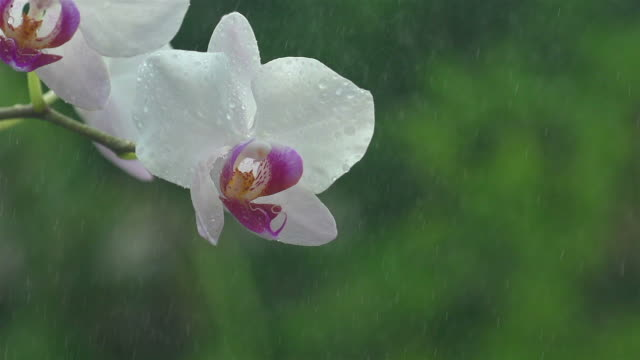 Wit orchidee In slowmotion Spray