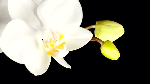 white orchid opening; time lapse - emergence stock videos & royalty-free footage