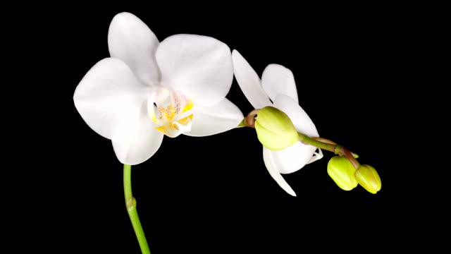stockvideo's en b-roll-footage met white orchid opening; time lapse - orchidee