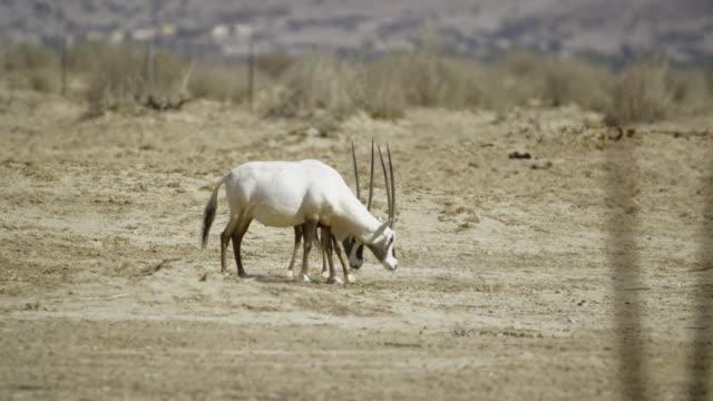 white oryx 3 - negev stock videos & royalty-free footage