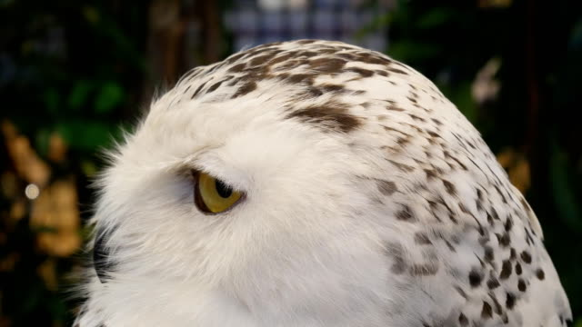 white owl close-up 4k - snowy owl stock videos and b-roll footage