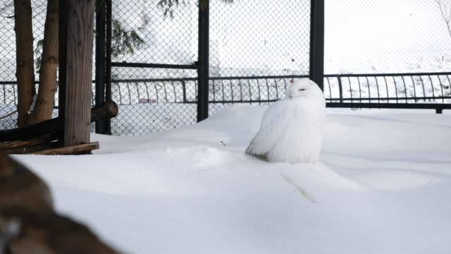 white owl snow - snowy owl stock videos and b-roll footage
