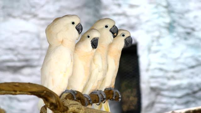 vídeos de stock e filmes b-roll de papagaio branco, catatua - parte do corpo animal