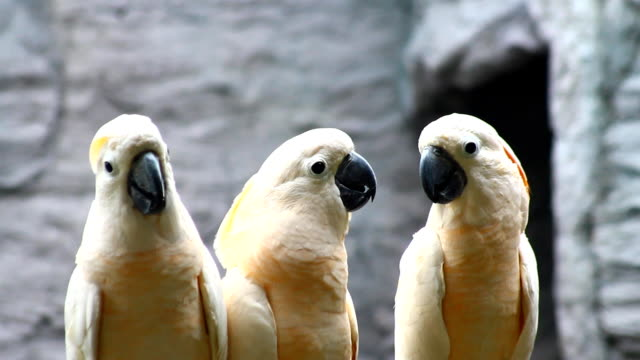witte papegaai, kaketoe