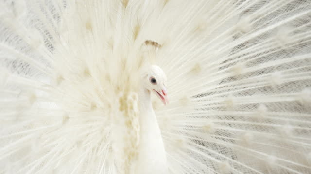 White peacock closeup