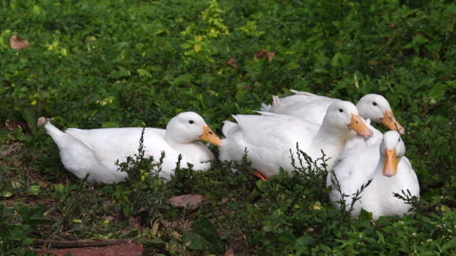 white pekin ducks adapted to cuban tropical weather-sancti spiritus, cuba - sancti spiritus province stock videos and b-roll footage
