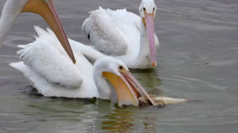 white pelicans battling over a fish - pelican stock videos & royalty-free footage