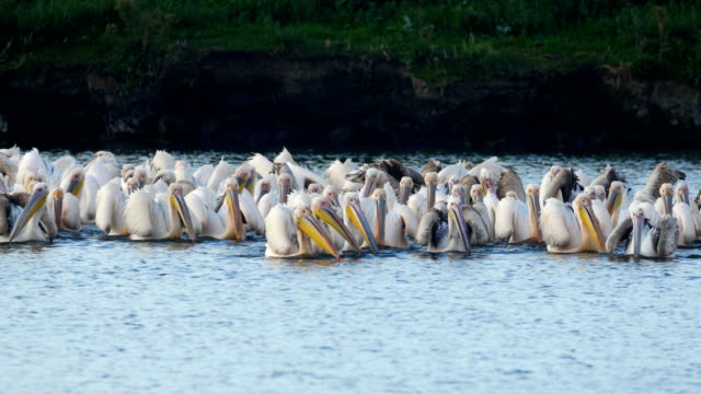White Pelicans (Pelecanus onocrotalus) large flock feeding during their long migration south.
