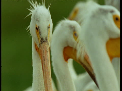 vídeos de stock, filmes e b-roll de white pelicans preen, north dakota - pelicano